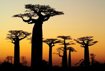 Baobabs in Southern Madagascar at Sunset