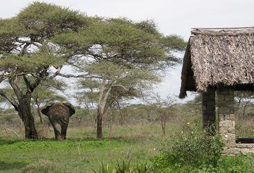 Elephant at Ndutu Safari Lodge, luxury lodge in Tanzania