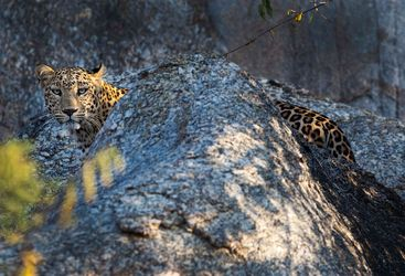 Leopard at Jawai Leopard Camp, luxury camp in India