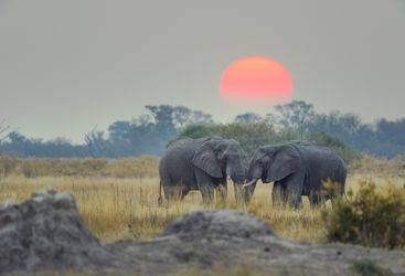 Elephants under a Sunset