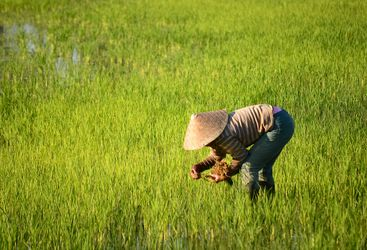 Paddy field farmer