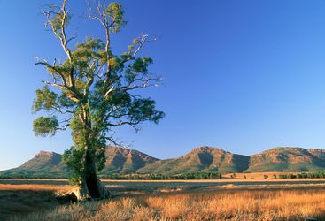 Cazneaux tree at Wilpena