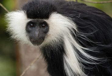 Colbus monkey