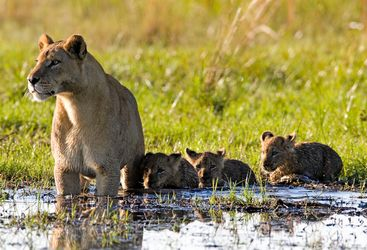 Lion family in the Okavango Delta