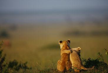 Lion cubs in Kenya