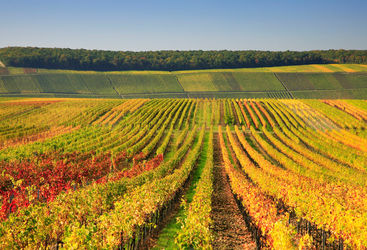 Autumnal vineyard