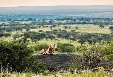 Lion on log in the Serengeti