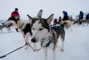 Swedish Lapland huskies