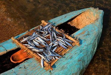 Lake Malawi fresh fish