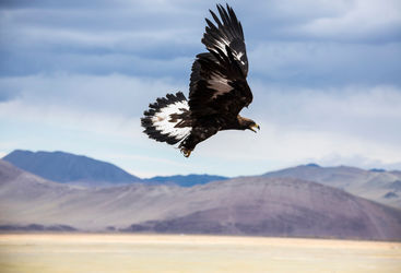 Altai Mountains Golden Eagle