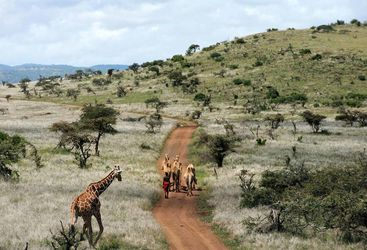 Camels in Laikipia