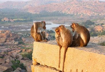 Hampi Monkeys, Karnataka
