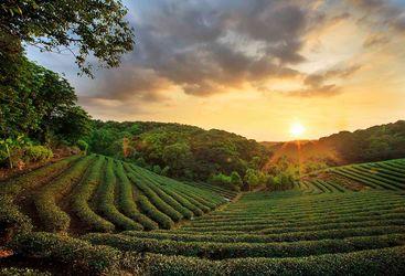 Eastern India tea plantations