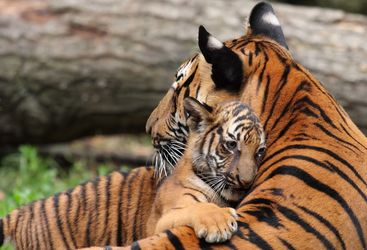 Mother and daughter tiger