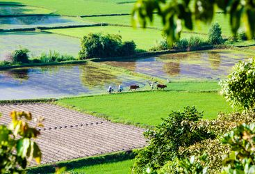 Rice field in Chau Doc