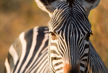 Zebra close up in the South Luangwa