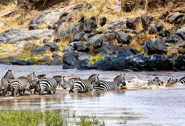 Zebra herd crossing Mara river