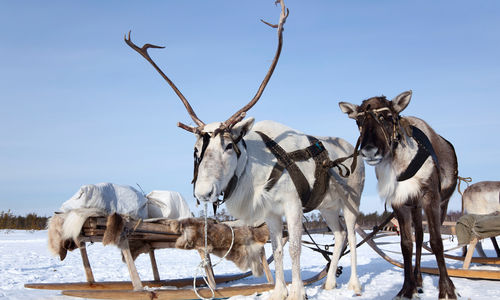 Reindeer in Finnish Lapland