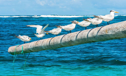 Royal terns on poles