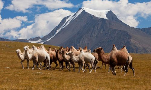 Altai mountains camels