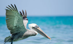 Pelican in the Caribbean