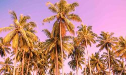 Palm trees against purple sky