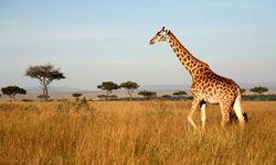 Giraffe in the Masai Mara, Kenya