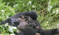 Gorilla Family Sleeping