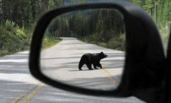 Bear in wing mirror