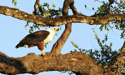 American Fish Eagle