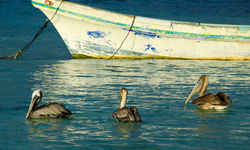 Belize Pelicans in Water