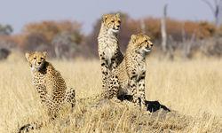 Cheetah Cubs on a Termite Mound