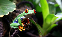 Rainforest frog
