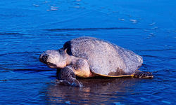 Costa Rican turtle