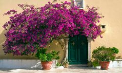 Bougainvillea Above a Greek Doorway