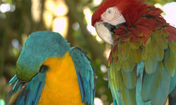 Parrots in Jamaica