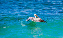pelican flying on water
