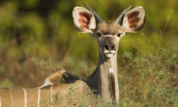Greater Kudu to Mana Pools