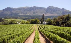 Vineyard in Franschoekk