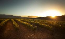 Vineyards as the sun rises