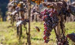 Vineyard in Ajara Georgia