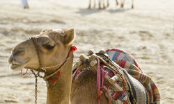 Camels, Dubai