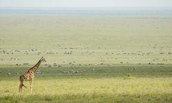 Tanzania Giraffe