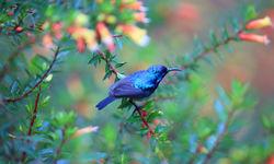 Purple banded sunbird