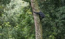 Climbing Monkey in Rwanda National Park