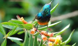 Sunbird in Nyungwe National Park