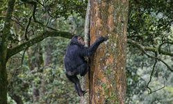 Chimp climbing a tree