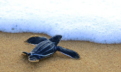 Turtle on the Beach, Sao Tome