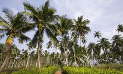 Palm Trees, Sao Tome and Principe