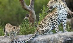 Serengeti Leopard and its Cub